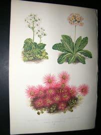 Wooster 1874 Antique Botanical Print. Cardamine Trifolia