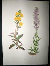 Wooster 1874 Antique Botanical Print. Cenothera Pumila