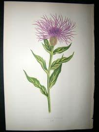 Wooster 1874 Antique Botanical Print. Centaurea Phrygia