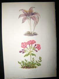 Wooster 1874 Antique Botanical Print. Cheque Flowered Meadow Saffron