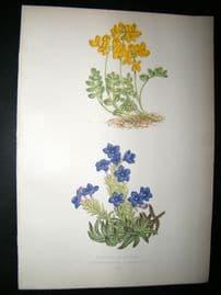 Wooster 1874 Antique Botanical Print. Coronilla Minima