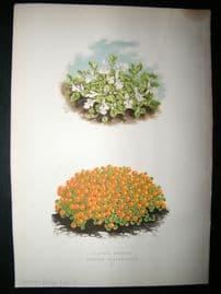Wooster 1874 Antique Botanical Print. Corsican Hedge Nettle