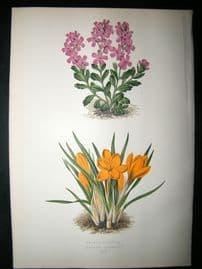 Wooster 1874 Antique Botanical Print. Crocus Aucheri