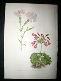 Wooster 1874 Antique Botanical Print. Dianthus Gallicus