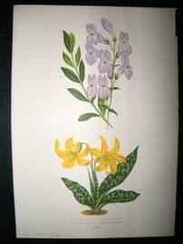 Wooster 1874 Antique Botanical Print. Dog Tooth's violet