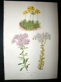 Wooster 1874 Antique Botanical Print. Draba Aizoides