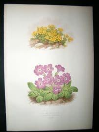 Wooster 1874 Antique Botanical Print. Dramba Glacialis