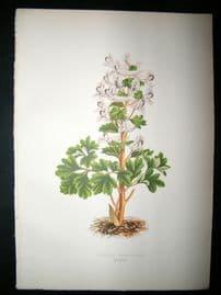 Wooster 1874 Antique Botanical Print. Fumaria Denisflora