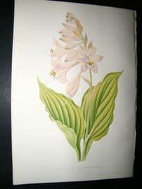 Wooster 1874 Antique Botanical Print. Funkia Undulata B Variegata
