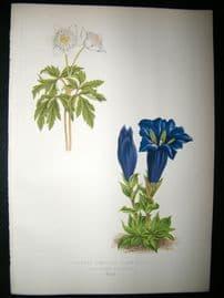 Wooster 1874 Antique Botanical Print. Gentiana Acaulis