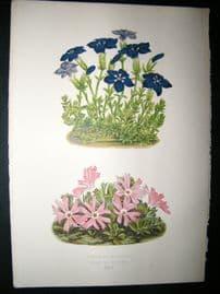Wooster 1874 Antique Botanical Print. Gentiana Bavarica
