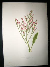 Wooster 1874 Antique Botanical Print. Hoary Sea Lavender