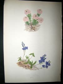 Wooster 1874 Antique Botanical Print. Iberis Jucunda