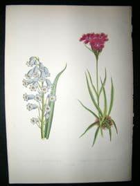 Wooster 1874 Antique Botanical Print. Iiyacintiius Amethystinus