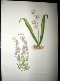 Wooster 1874 Antique Botanical Print. Linaria Alpina