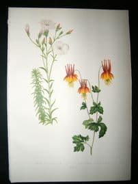Wooster 1874 Antique Botanical Print. Linum Salsoloides