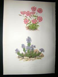 Wooster 1874 Antique Botanical Print. Lychnis Lagascae