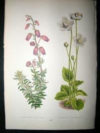 Wooster 1874 Antique Botanical Print. Menziesia Polifolia