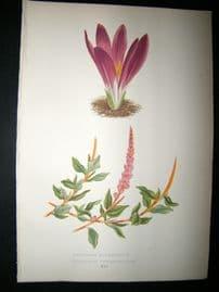 Wooster 1874 Antique Botanical Print. Merenera Bulbocdium