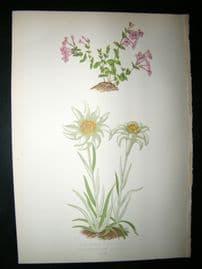 Wooster 1874 Antique Botanical Print. Micomeria Piperella