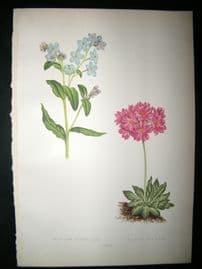 Wooster 1874 Antique Botanical Print. Myosotis Dissitiflora
