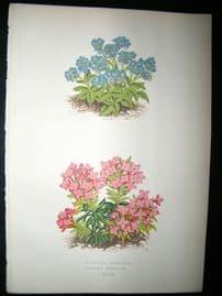 Wooster 1874 Antique Botanical Print. Myosotis Rupicola