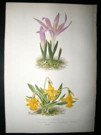 Wooster 1874 Antique Botanical Print. Narcissus Minor, The Dwarf Daffodil