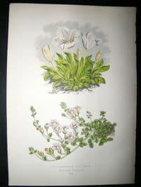 Wooster 1874 Antique Botanical Print. Nierembergia