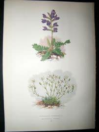Wooster 1874 Antique Botanical Print. Oxytropis Pyrenaica