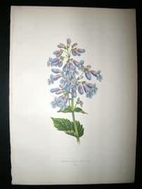 Wooster 1874 Antique Botanical Print. Pentsteman Ovatum