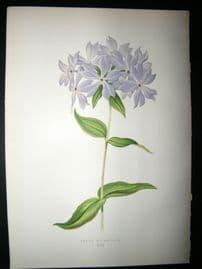 Wooster 1874 Antique Botanical Print. Phlox Divaricata