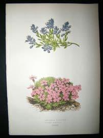 Wooster 1874 Antique Botanical Print. Polygala Calcarea