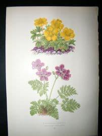 Wooster 1874 Antique Botanical Print. Potentilla Ambigua