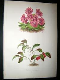 Wooster 1874 Antique Botanical Print. Primula Glaucescens