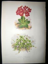 Wooster 1874 Antique Botanical Print. Primula Pedemontana