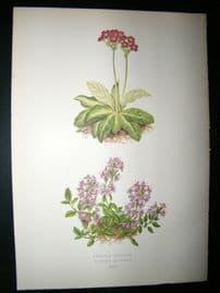 Wooster 1874 Antique Botanical Print. Primula Scotica