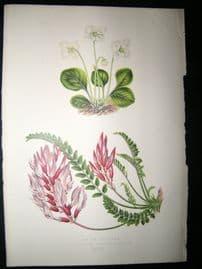 Wooster 1874 Antique Botanical Print. Pyrola Uniflora