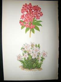 Wooster 1874 Antique Botanical Print. Rhododendron Ferrugineum