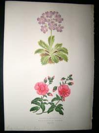 Wooster 1874 Antique Botanical Print. Rose-Coloured Sun-Rose