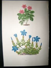 Wooster 1874 Antique Botanical Print. Rubus Arcticus