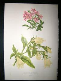 Wooster 1874 Antique Botanical Print. Saponaria