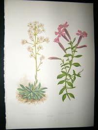 Wooster 1874 Antique Botanical Print. Saxifraga Aizoon
