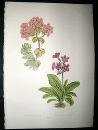 Wooster 1874 Antique Botanical Print. Sedum Ewersii