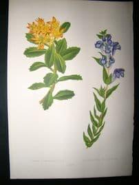 Wooster 1874 Antique Botanical Print. Sedum Kamtschaticum