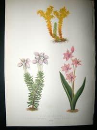 Wooster 1874 Antique Botanical Print. Sedum Sexangulare