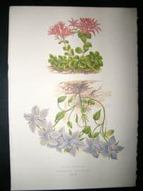 Wooster 1874 Antique Botanical Print. Sedum Spurium