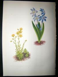 Wooster 1874 Antique Botanical Print. Seilla Sibirica