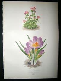 Wooster 1874 Antique Botanical Print. Sieber's Crocus