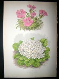 Wooster 1874 Antique Botanical Print. Snowy Primrose