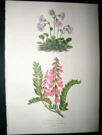 Wooster 1874 Antique Botanical Print. Soldanella Alpina
